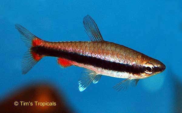 Beckfords Pencilfish Nannostomus beckfordi