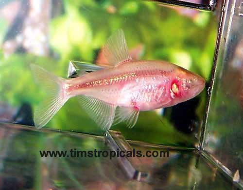 Blind Cave Tetra Origins No Eyse Aquarium Setup Compatibility Breeding