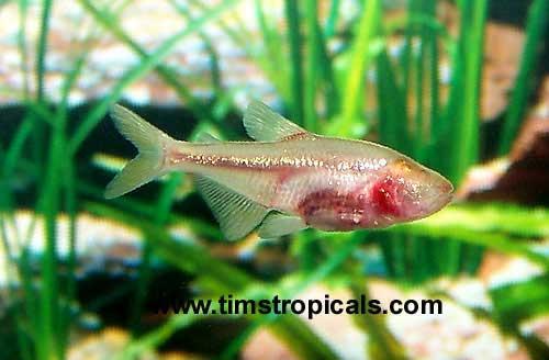 Blind cave tetra good beginner fish compatbility tim for Good beginner fish