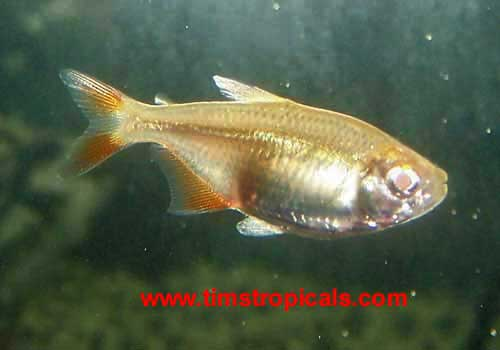 Buenos Aires Tetra Hemigrammus caudovittatus - Tims Tropical Fish and ...