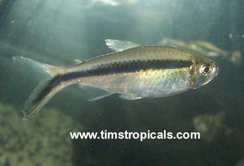 Penguin tetra good beginner fish tim 39 s tropical fish for Good beginner fish