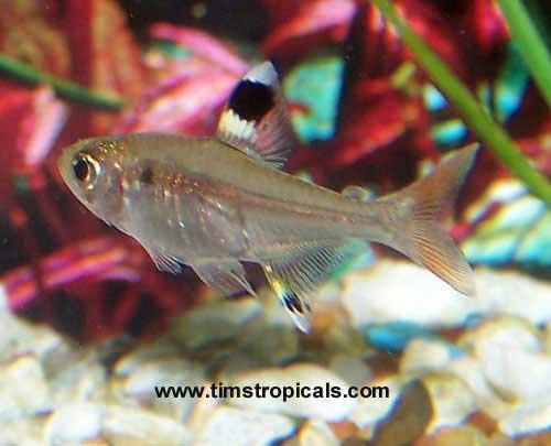 Pristella tetra good beginner fish compatibility for Good beginner fish